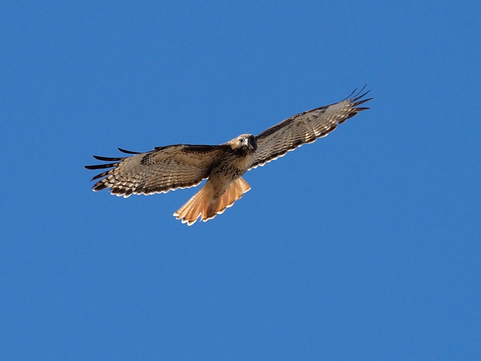 Shot of red-tail hawk from underneath