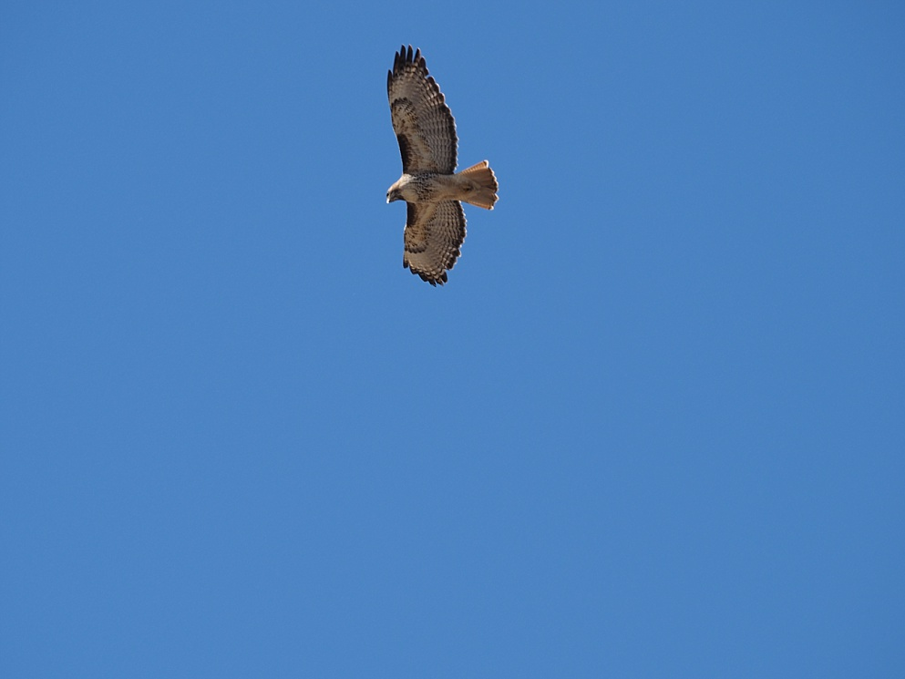 Out-of-focus shot of red-tail hawk overhead