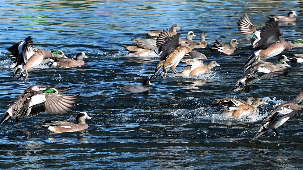 American wigeons in water and in air