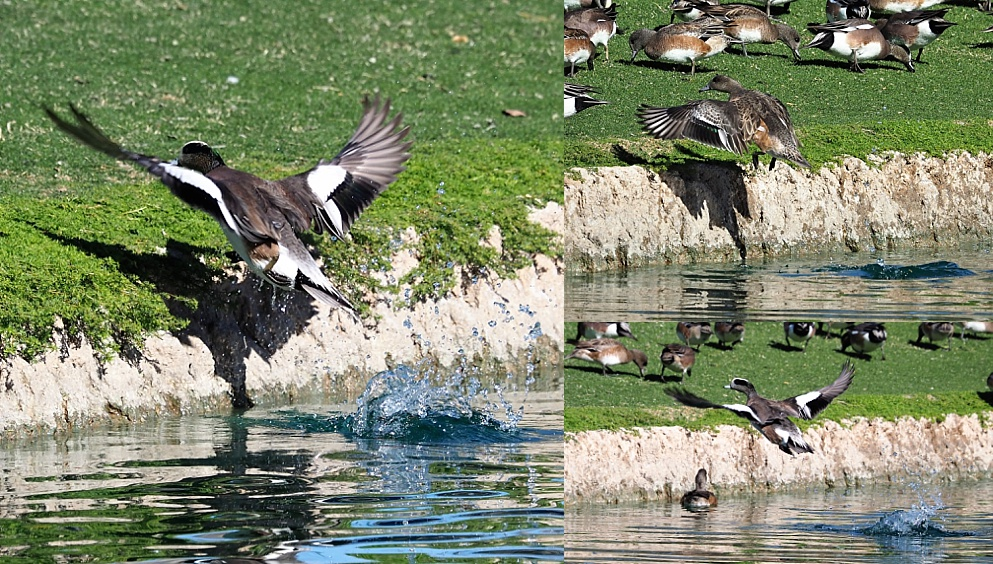 Collage of American wigeons launching off water