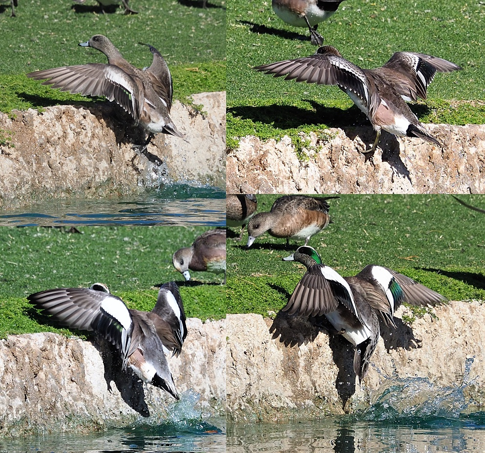4-photo collage of American wigeons levitating out of pond