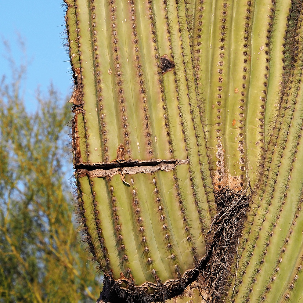 Saguaro cactus with slits and holes that make a face