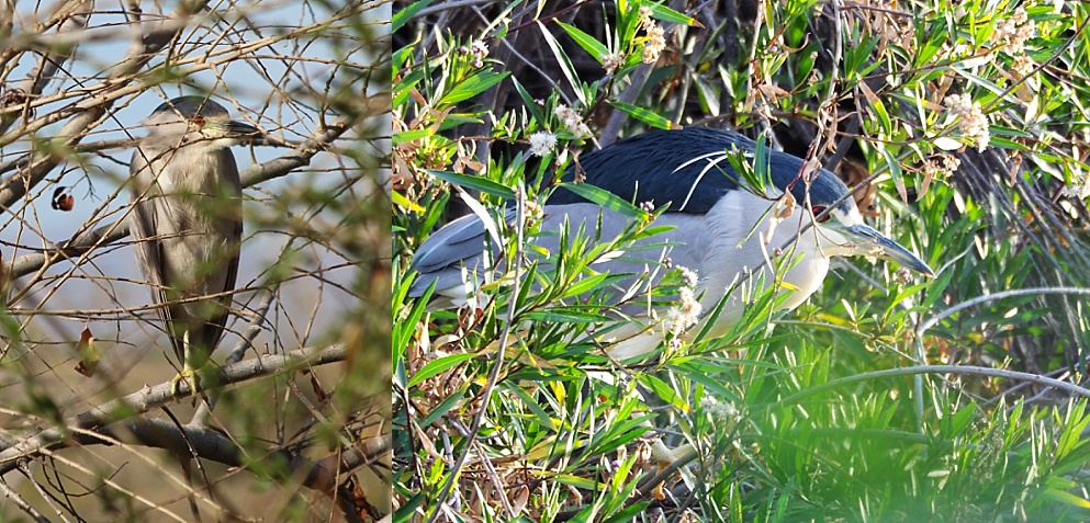 2-photo collage of black-crowned night herons in a typical pose, hiding in the shrubs.