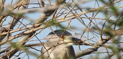 Black-crowned Night Heron, Gilbert AZ (Again)