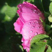 Close-up of rain-dappled rose
