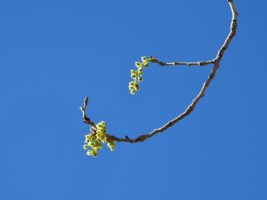Spring buds evoking a Japanese esthetic