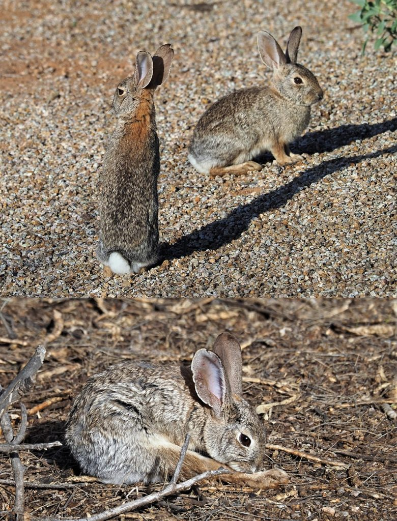 2-photo collage of desert cottontails