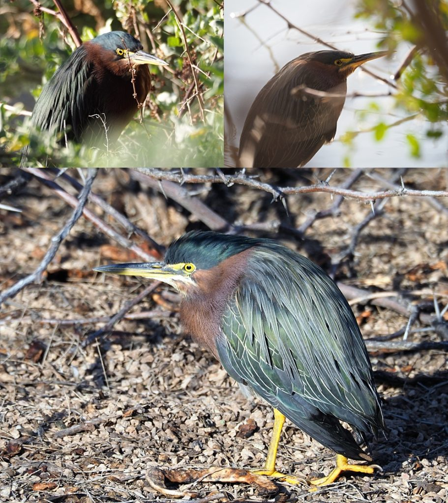Green herons under cover and out in the open