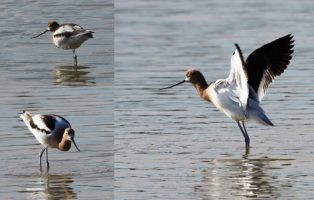 3-photo collage of male avocet sin breeding plumage