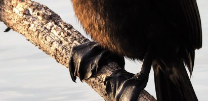 Double-crested Cormorants, Gilbert AZ