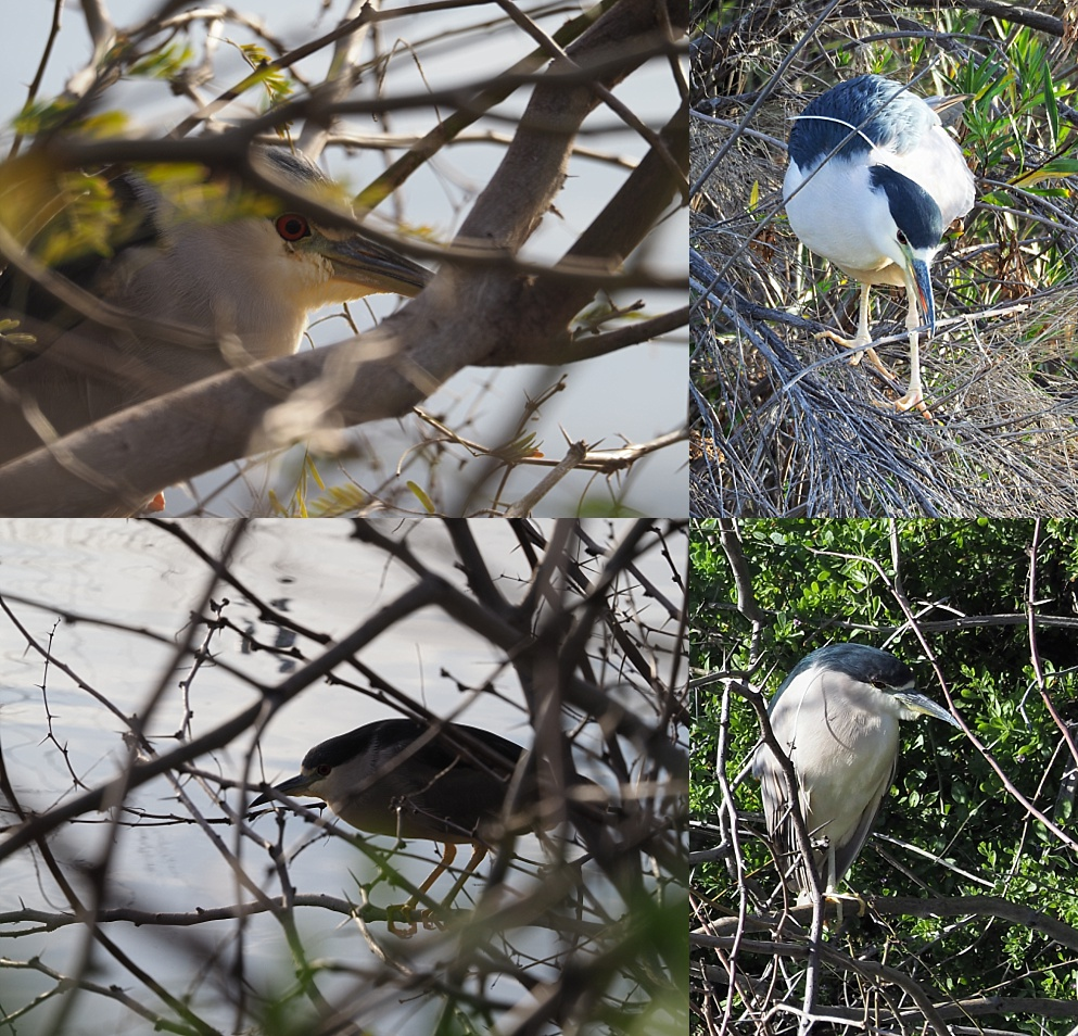 Collage of black-crowned night herons under cover and out in the open, more or less