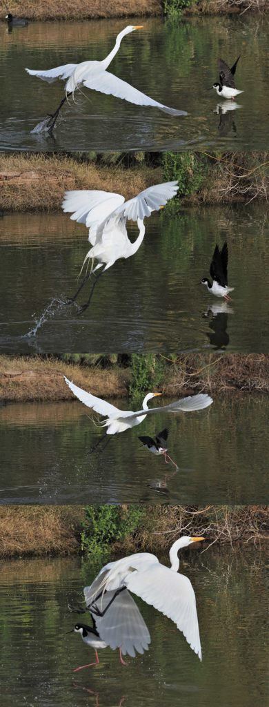 4-photo sequence of great egret and black-necked stilt launching off pond at same time