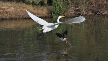 Great egret and black-necked stilt lifting off pond at same time