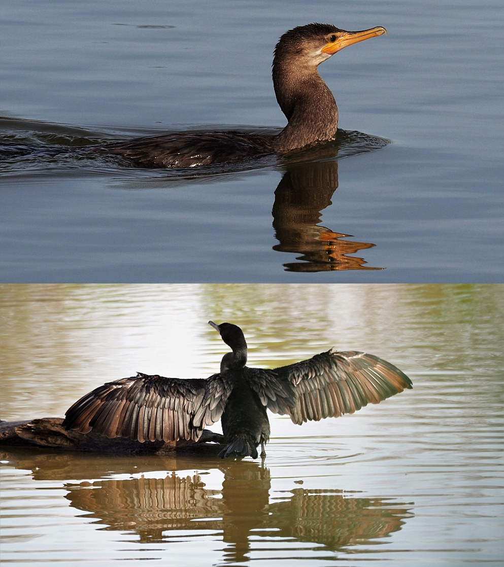 2-photo collage of cormorants