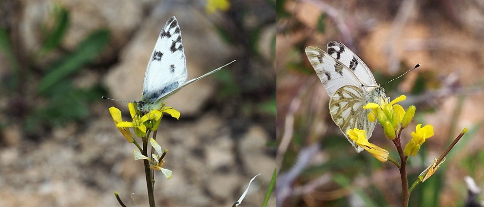 2-photo collage of butterflies at Fish Creek Lookout