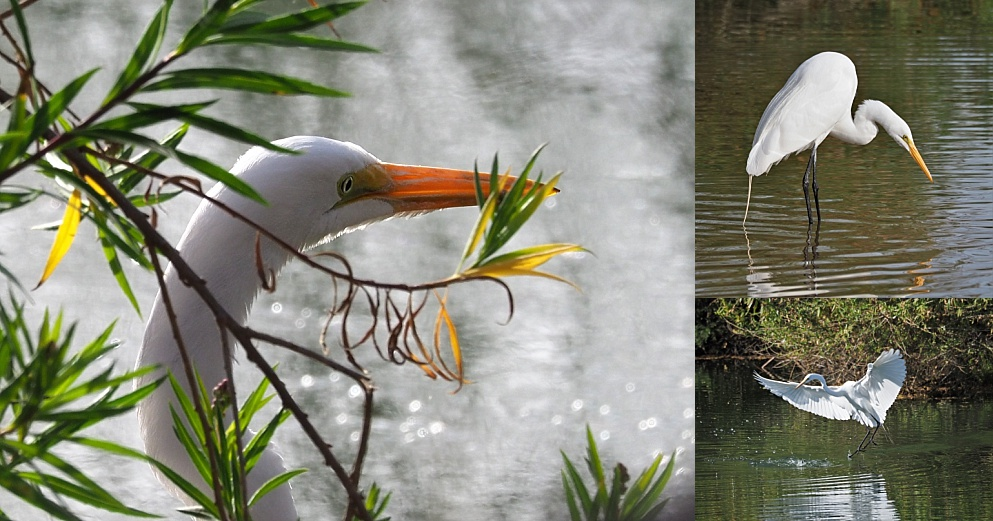 3-photo collage of great egret, under cover and out in the open