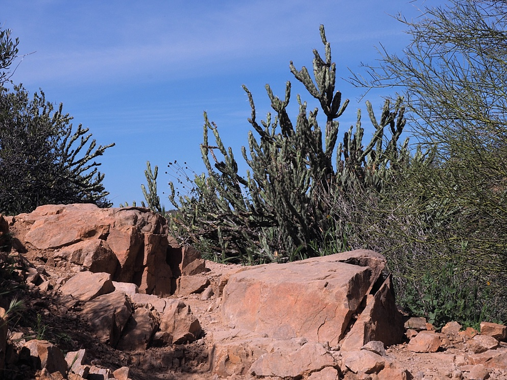 Red rock and staghorn cholla
