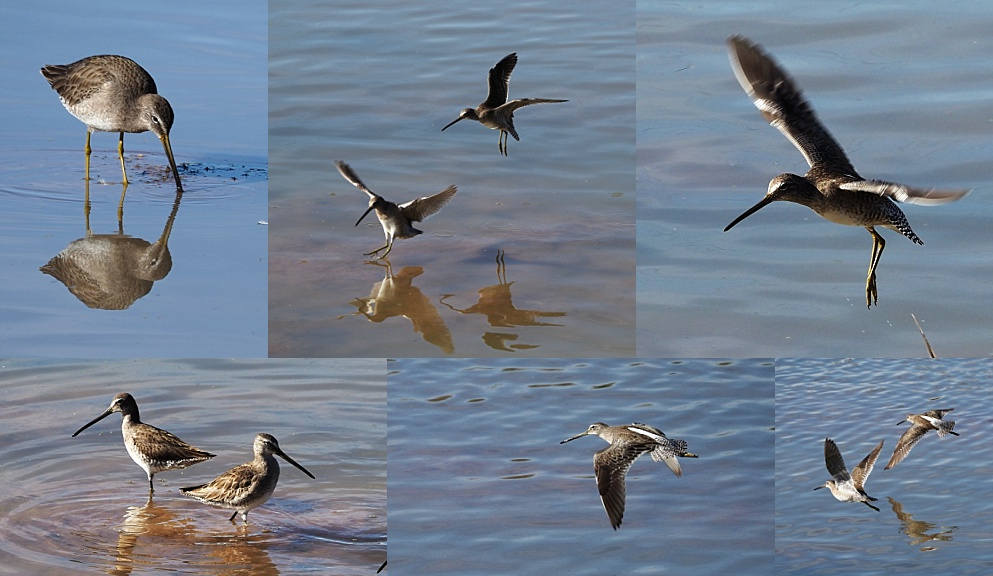 6-photo collage of long-billed dowitchers