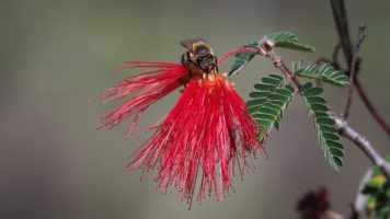 Close-up of bee on red feathery flower