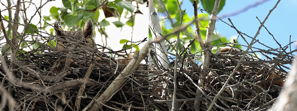 2-photo collage of great horned owl and owlet in distant nest