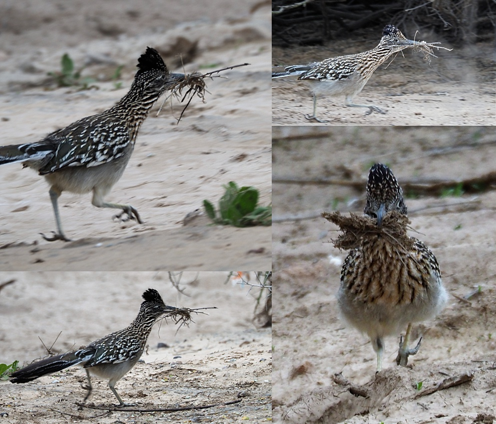 4-photo collage of roadrunner running with nesting material