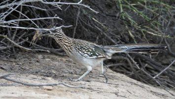 Roadrunner gathering nesting material