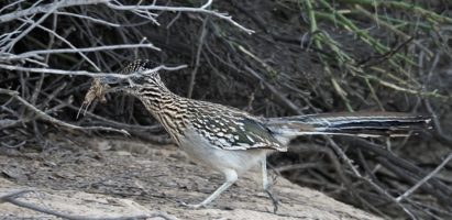 Fuzzy Yet Focused Greater Roadrunners