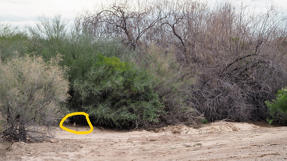 Shrub under which a pair of roadrunners is building a nest