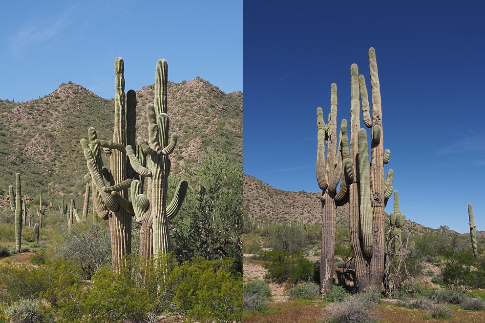 2-photo collage of saguaro cactuses