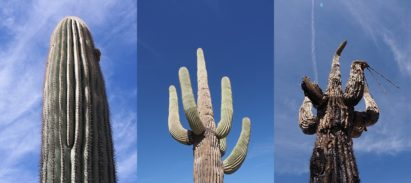 3-photo collage showing life stages of saguaro