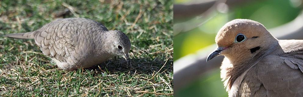 2-photo collage of 2 species of dove