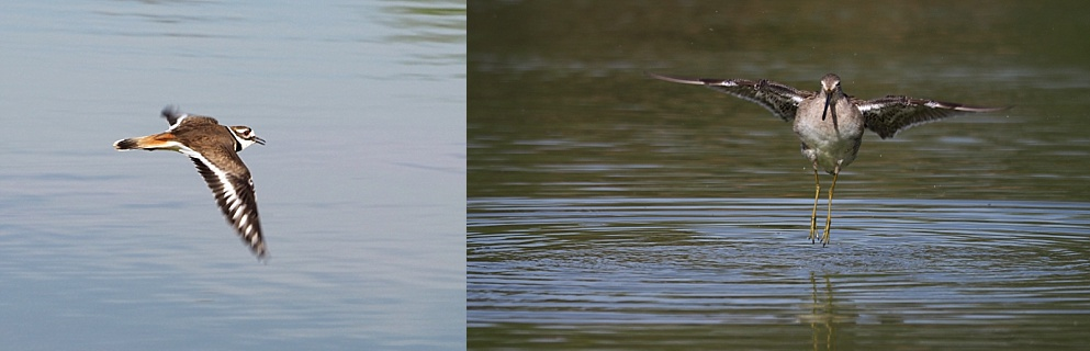 2-photo collage of killdeer and dowitcher in flight