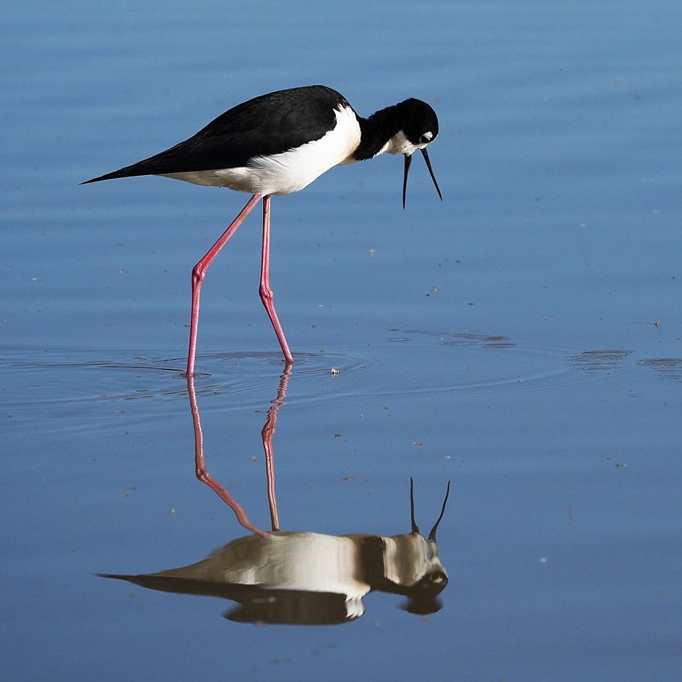 Black-necked stilt reflected in pond