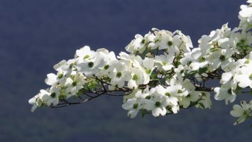 Close-up of white dogwood tree in bloom
