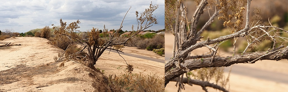 2-photo collage showing growth habit of creosote bush in desert