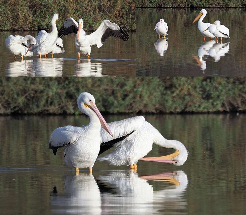 3-photo collage of American pelicans standing and preening