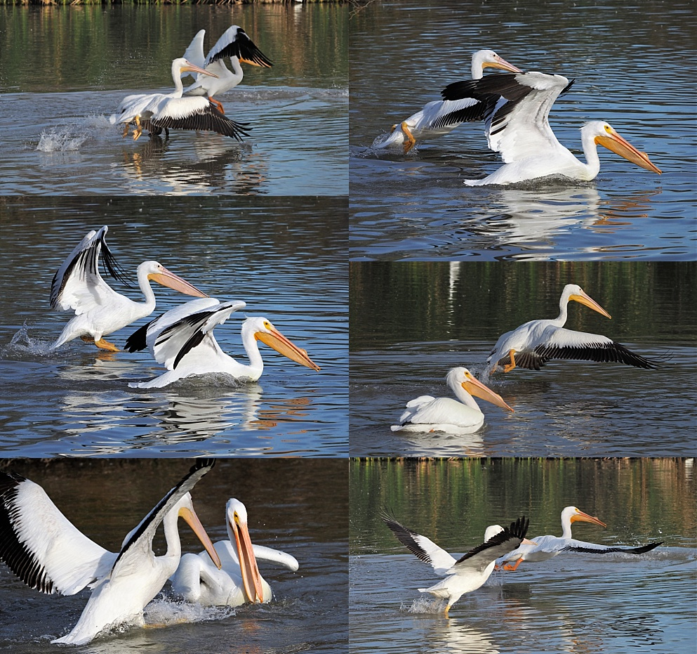 6-photo collage of American pelicans in motion in the water