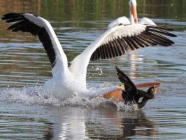 American pelican attacking cormorant for its catch