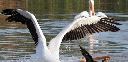 Pelicans and Cormorants, Gilbert AZ