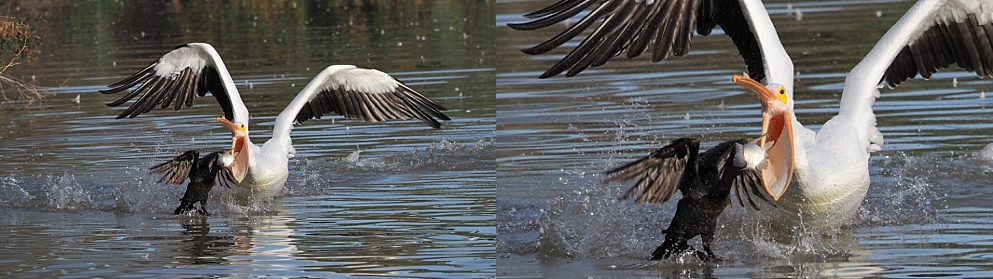2-photo collage of American pelicans attacking cormorants for their catch