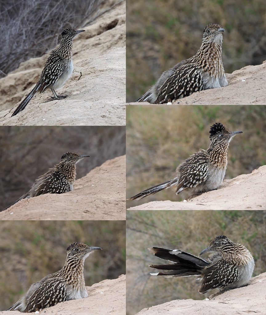 6-photo collage of close encounter with a roadrunner