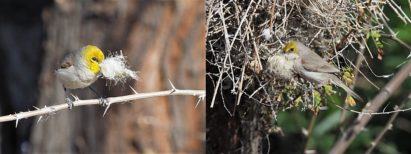 2-photo collage of verdins with cottonwood fluff for nest