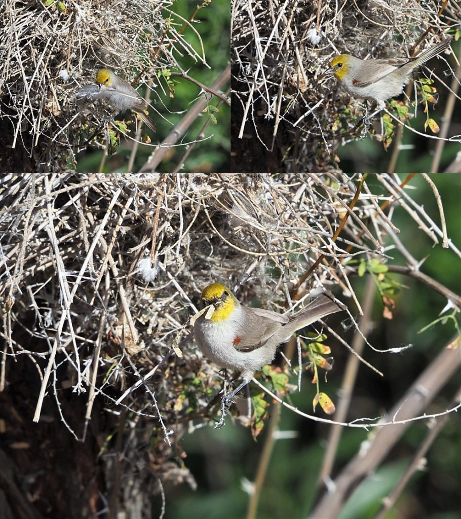 3-photo collage of verdins lining nest
