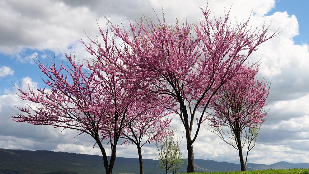 3 redbud trees in bloom