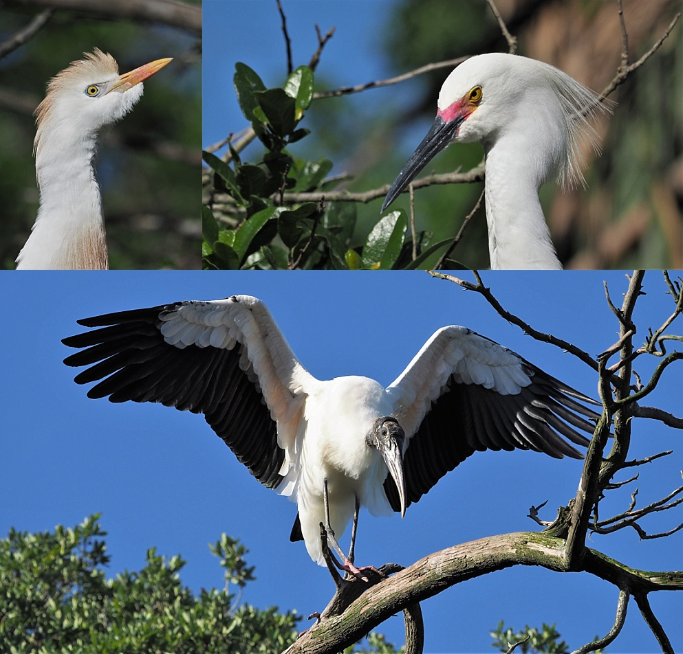 3-photo collage of the usual suspects in Florida's white birds
