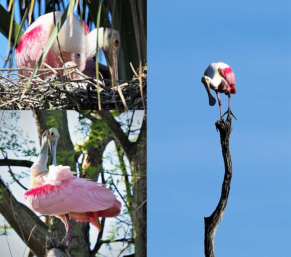 3-photo collage of roseate spoonbills