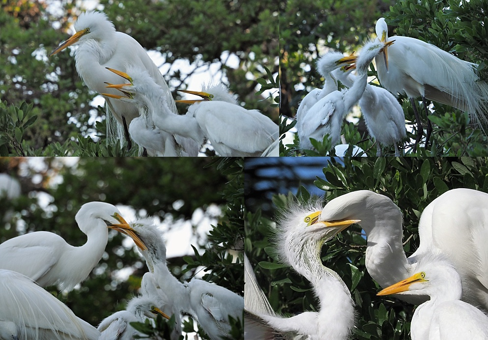 4-photo collage of great egrets feeding chicks