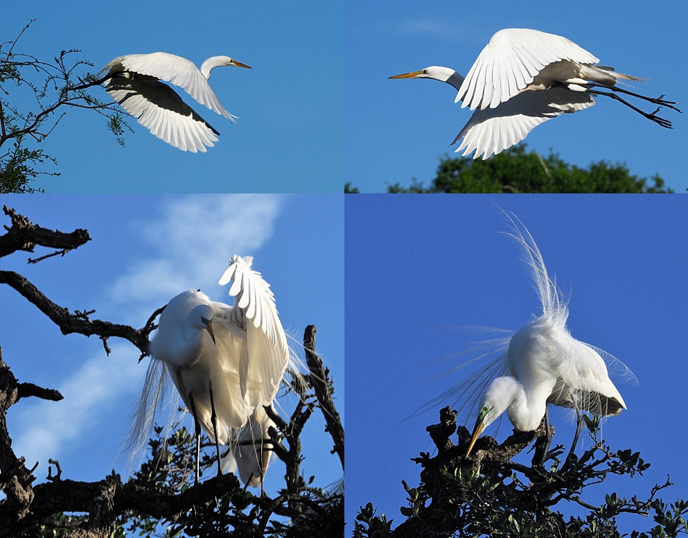 4-photo collage of great egrets in the air or alighting in trees