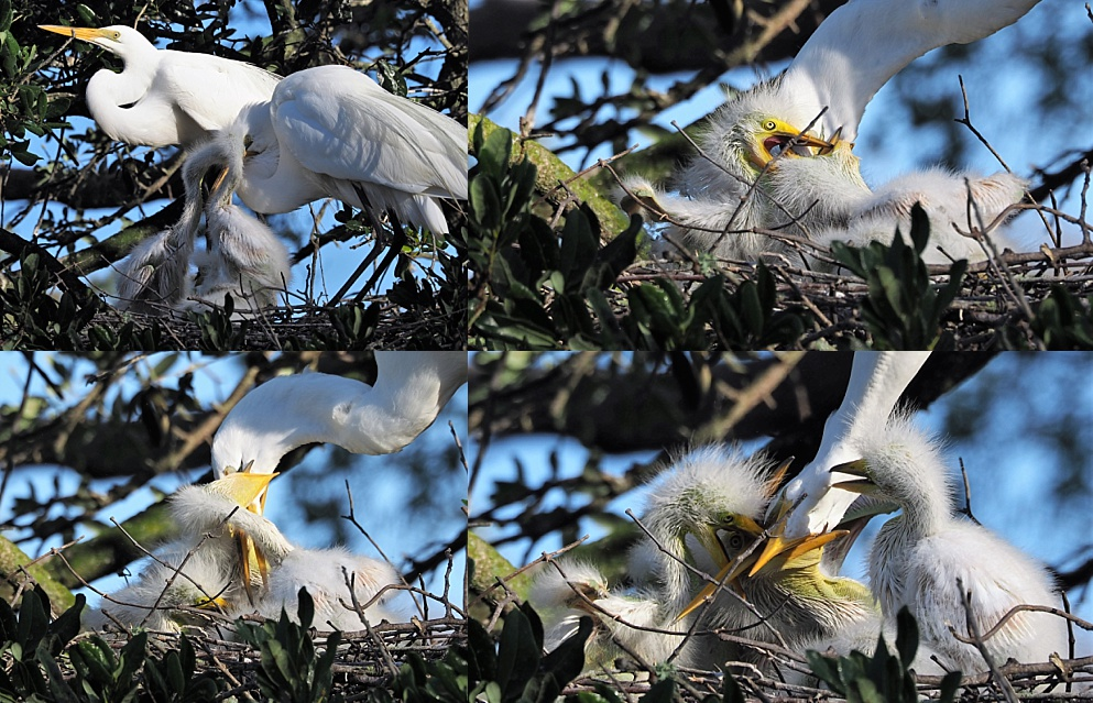 4-photo collage of great egret feeding chicks