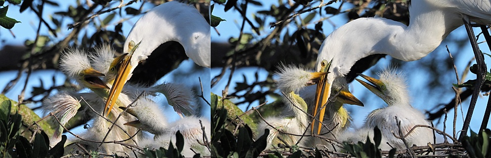 2-photo collage of great egret feeding chicks